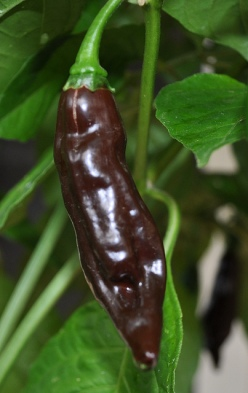 chocolate_fatalii