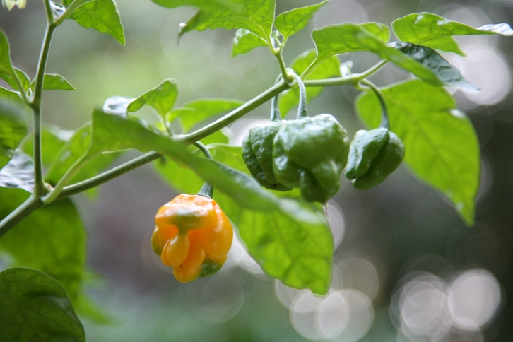 TEST  photo by BRIAN ROBERTS  --  scotch bonnet